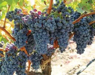 grapes grenache heritage