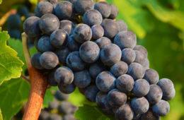 paratus vineyard