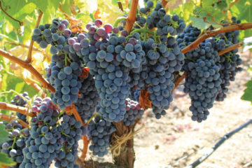 grapes grenache heritage