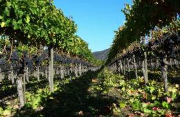 farella vineyards